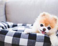 Несахарный диабет собак