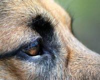 Синдром сухого глаза у собак