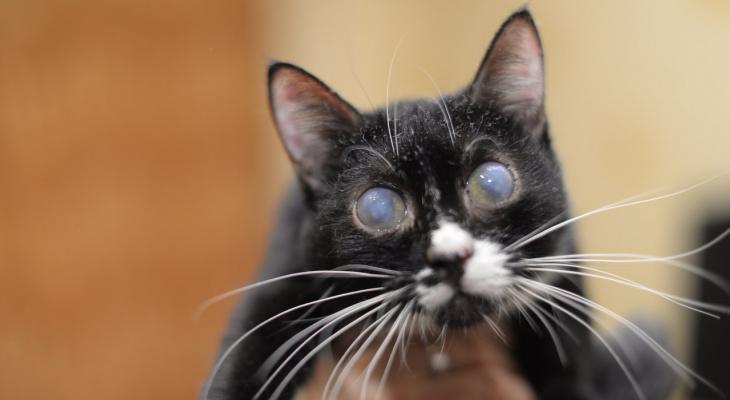 Слепота у кошек