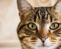 Жидкость в брюшной полости кошки