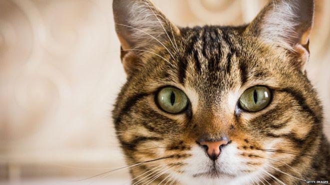 Жидкость в брюшной полости у кошки