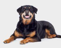 флегмона у собак