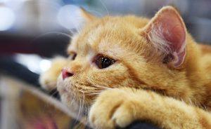коронавирусная инфекция кошек симптомы диагностика