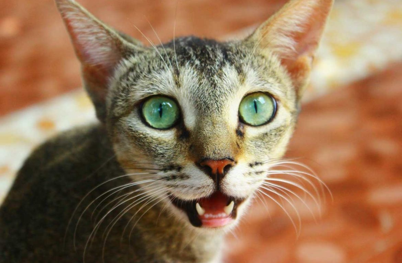 Проблемы с дыханием у кошек