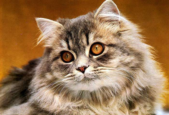 Тремор у кошки