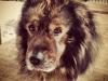 Ковалевская Ксения (собака Лорд)