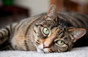 Блошиный дерматит у кошек и собак
