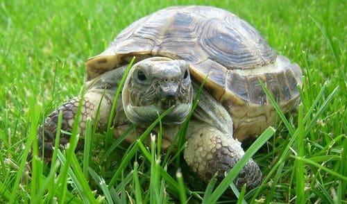 Содержание и кормление среднеазиатских черепах