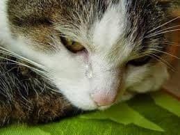 У кошки или собаки слезятся глаза