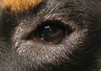 Заворот или выворот век у собак