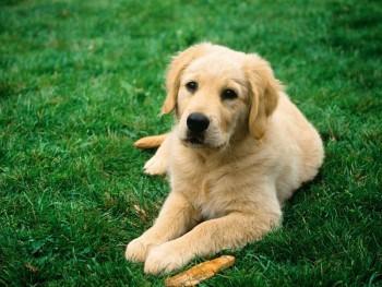 Дископатия собак
