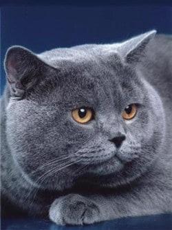 Гипертрофическая кардиомиопатия кошек