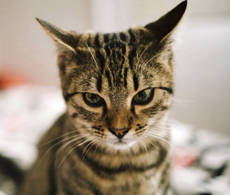 Микоплазмоз у кошек и собак