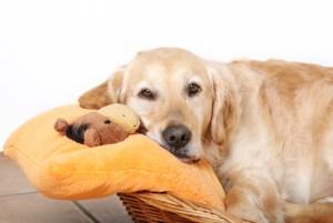 Половой цикл у собак