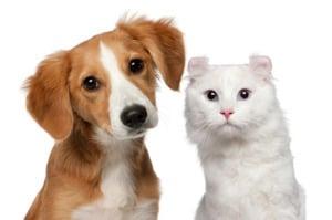 Диабетическая кома у собак и кошек