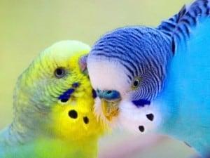 Волнистые попугаи - содержание и уход