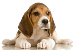 Острое расширение желудка у собак