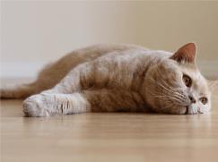 Судороги у кошек
