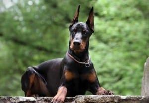 Дилатационная кардиомиопатия (ДКПМ) у собак