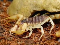 Скорпионы в домашних условиях