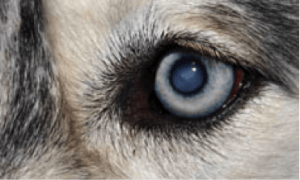 Катаракта у собак
