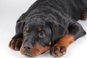 Собака проглотила инородное тело