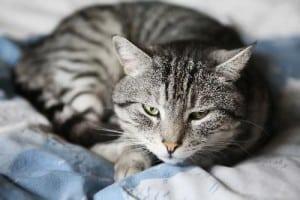 Вирусный иммунодефицит кошек