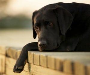 Глухота у собак