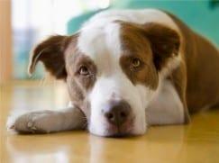 Лимфома у собак