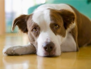 Лимфосаркома (лимфома) у собак