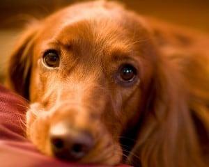 МКБ у собак