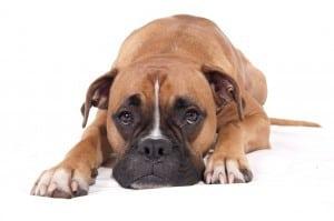 Отек легких у собак