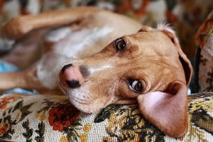 Печеночная недостаточность у собак