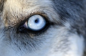 Язва роговицы глаза у собак