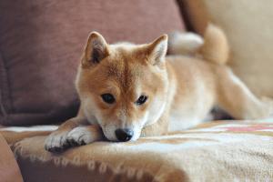 Гиперадренокортицизм у собак