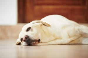 Маточное кровотечение у собак и кошек