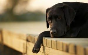 Обмороки у собак