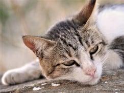 Папилломатоз у кошек