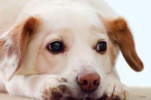 Полиурия у собак