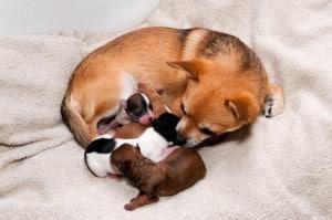 Родовспоможение у собак