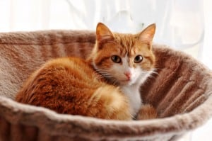 Сердечная недостаточность у кошек