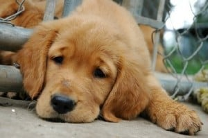 Заворот желудка у собак