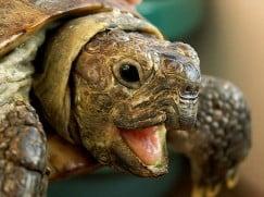 Пневмония у черепах