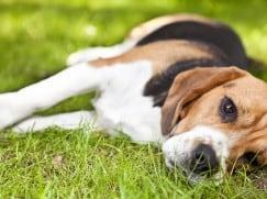 Паралич конечностей у собак
