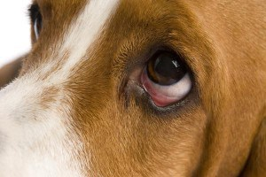 Пролапс слезной железы у собак