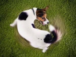 Почему собака бегает за хвостом