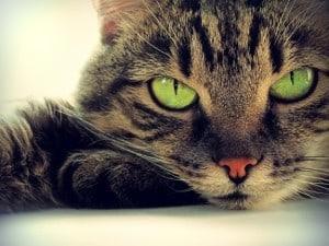 Анемия у кошек