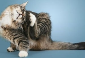 Дисплазия суставов у кошек