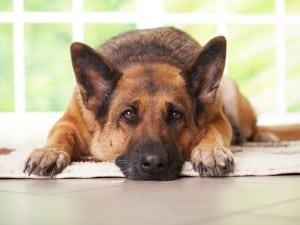Мочевина в крови у собак
