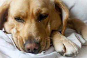 Аутоиммунная гемолитическая анемия у собак